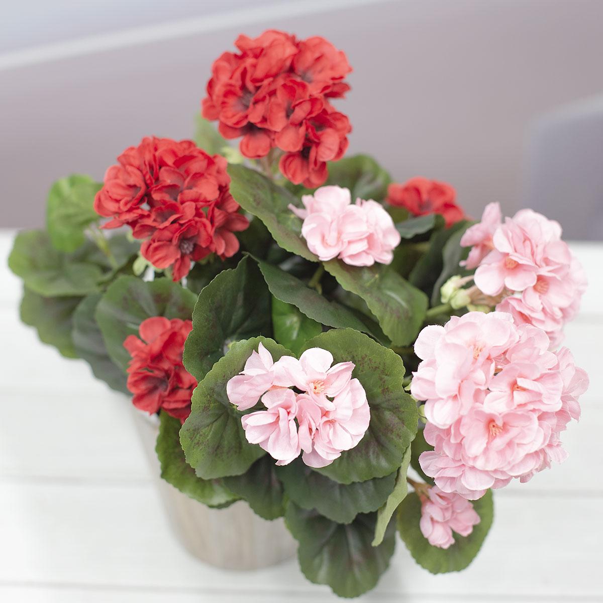 화분에 꽂아놓은 두가지 색상의 제라늄 꽃 부쉬 색상비교사진