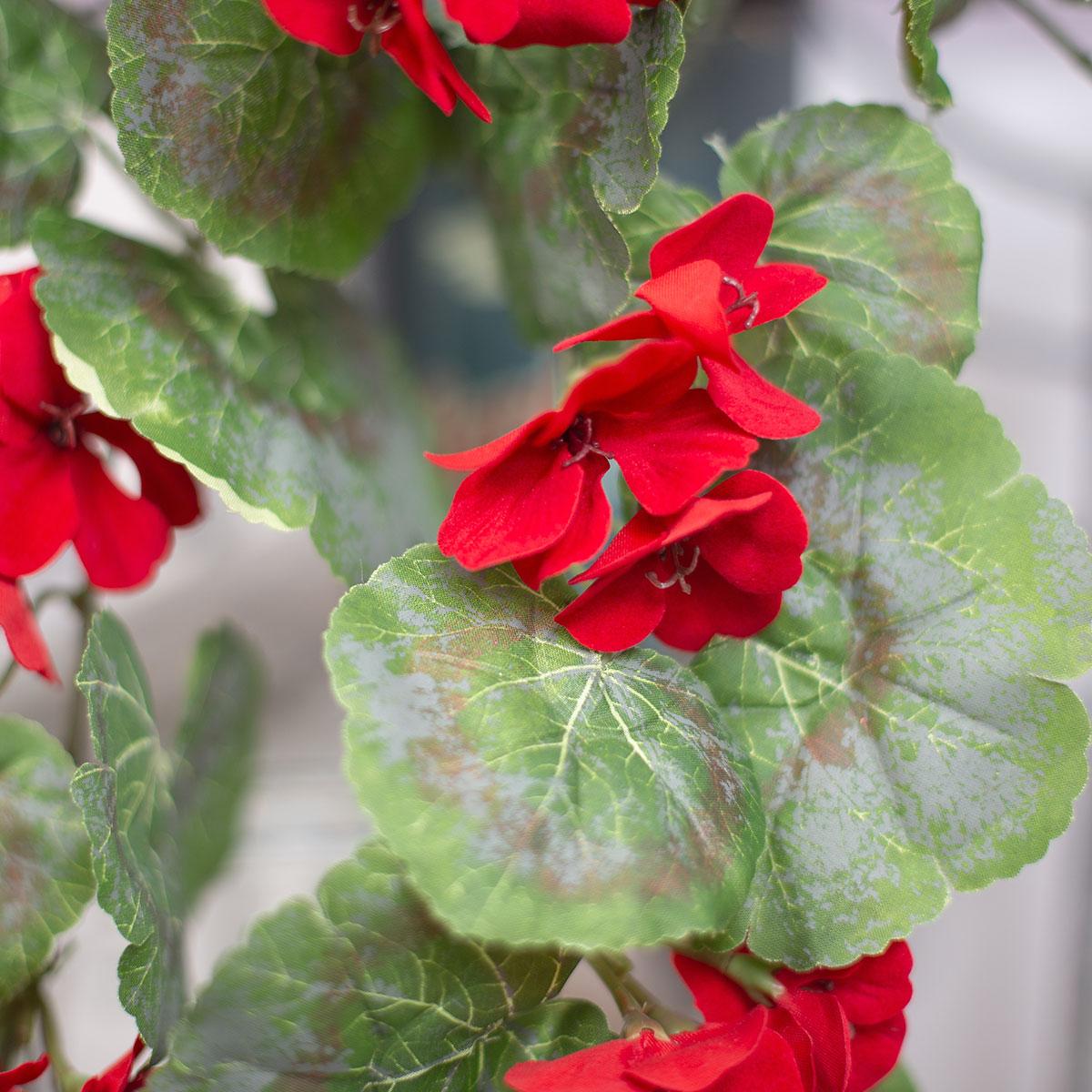 제라늄 꽃 넝쿨 바인 부쉬